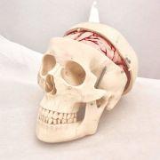 Model - Craniu uman clasic cu encefal (8 parti)