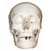 Craniu uman marime naturala (3 parti) - cu maxilar mobil, linii de sutura si dinti detasabili