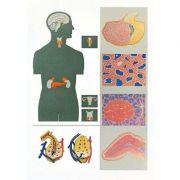 Plansa glandele endocrine
