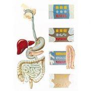 Plansa sistemul digestiv