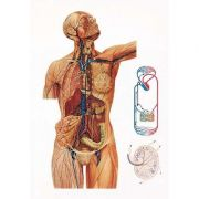 Plansa sistemul limfatic