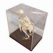 Model - Schelet porumbel