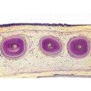 Sectiuni microscopice Sistemul digestiv