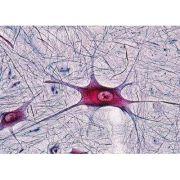 Sectiuni microscopice Sistemul nervos
