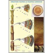 Structura tulpinei la plantele lemnoase - Structura varfului de radacina. Plansa DUO.
