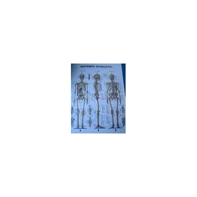 Scheletul Uman. Poster plastifiat mat cu dimensiunea de 50 x 70 cm