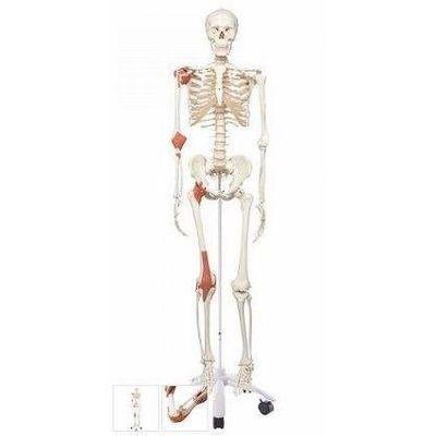 Schelet uman cu ligamente, marime naturala (model LEO)